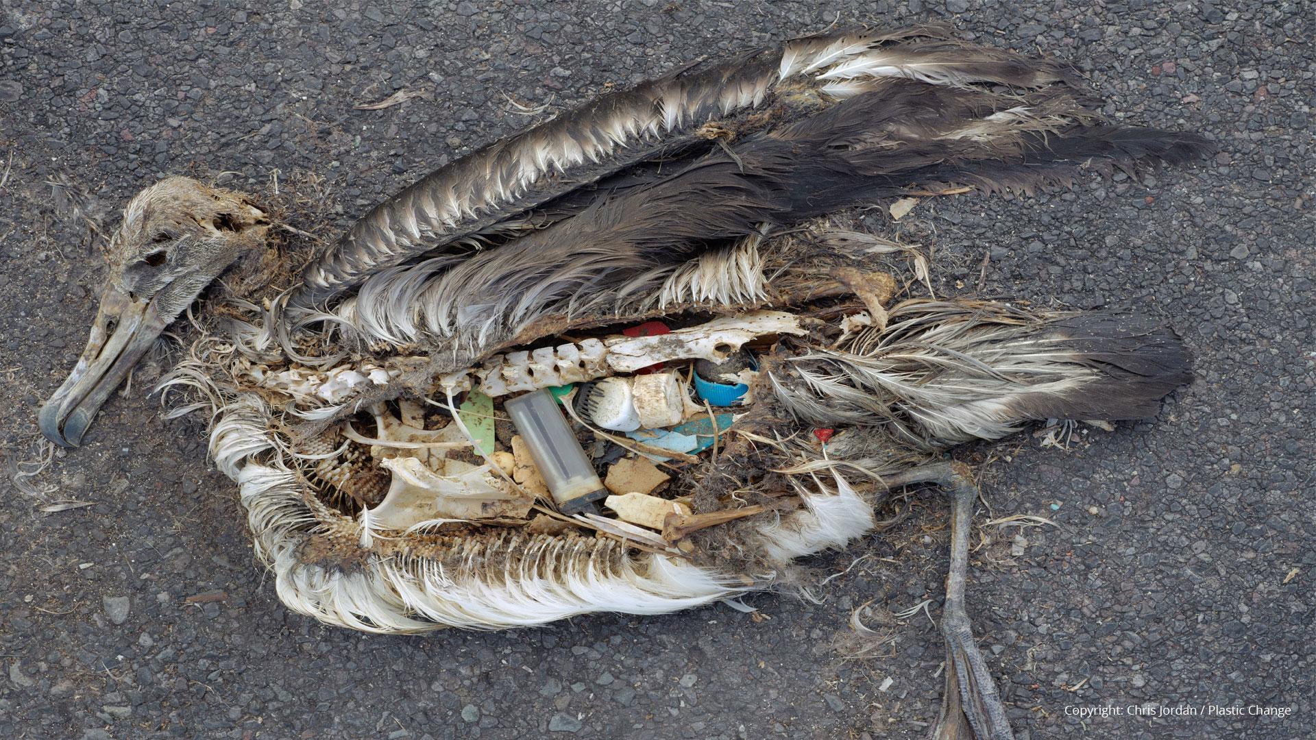 Plastic maaginhoud Albatros kuikens